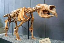 2.5 milyon yıllık dev keseli fosili