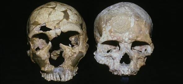 Araştırmada kullanılan bir Neandertal kafatası (solda) ile modern insan kafatası.