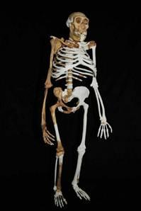Au. sediba'nın tamamlanmış iskeleti.