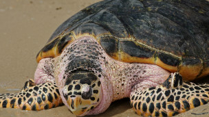130531141849_turtle_shell_304x171_afp_nocredit