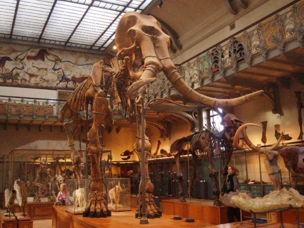 Mammuthus meridionalis iskeleti, Muséum national d'histoire naturelle, Paris